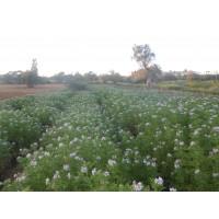 Óleo essencial de  Pelargolium graveolens